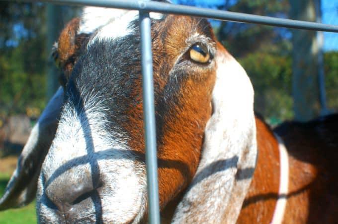 goat | joehealthymeals.com