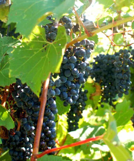 grape clusters | joeshealthymeals.com