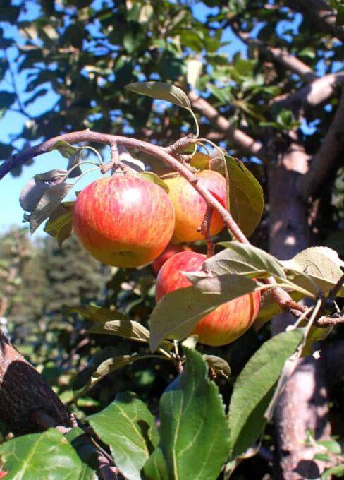 Aamodt's apple orchard visit | joeshealthymeals.com