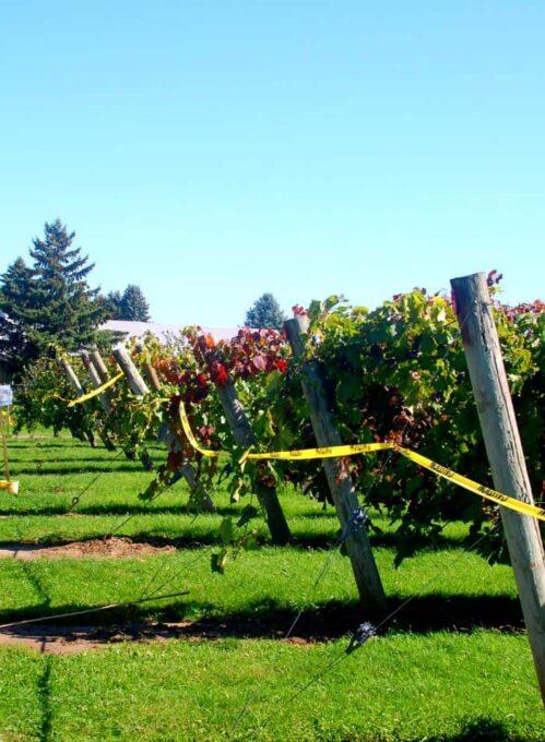 vineyard | joeshealthymeals.com