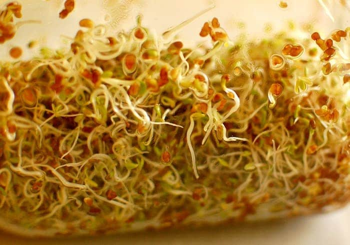 Growing Alfalfa Sprouts