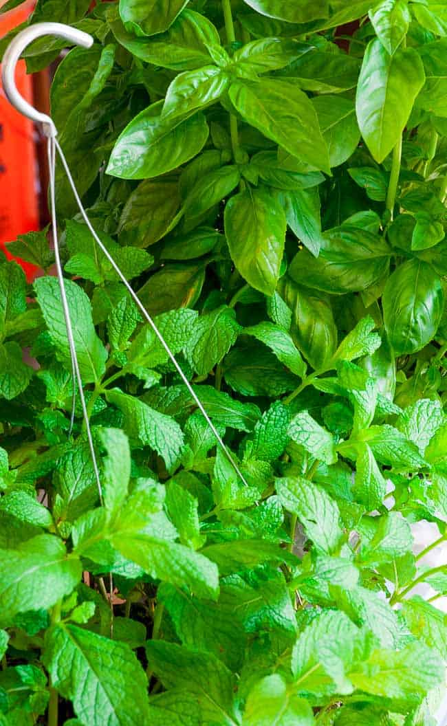 Basil and mint plants